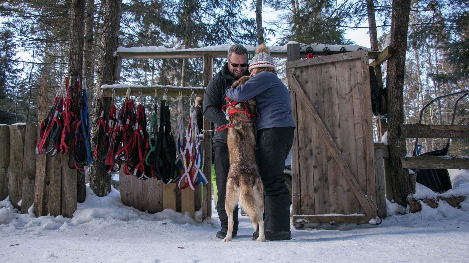 préparer les chiens pour la balade en traineau