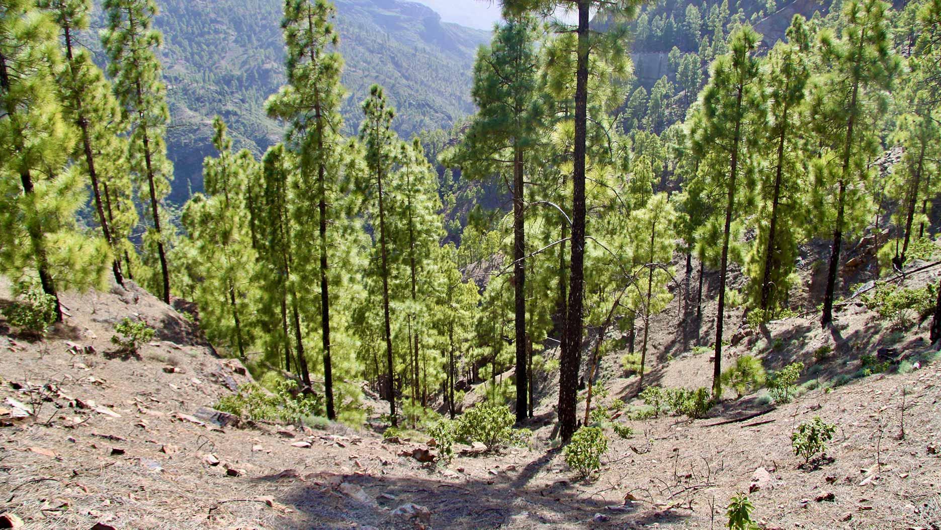 forêt aux iles canaries