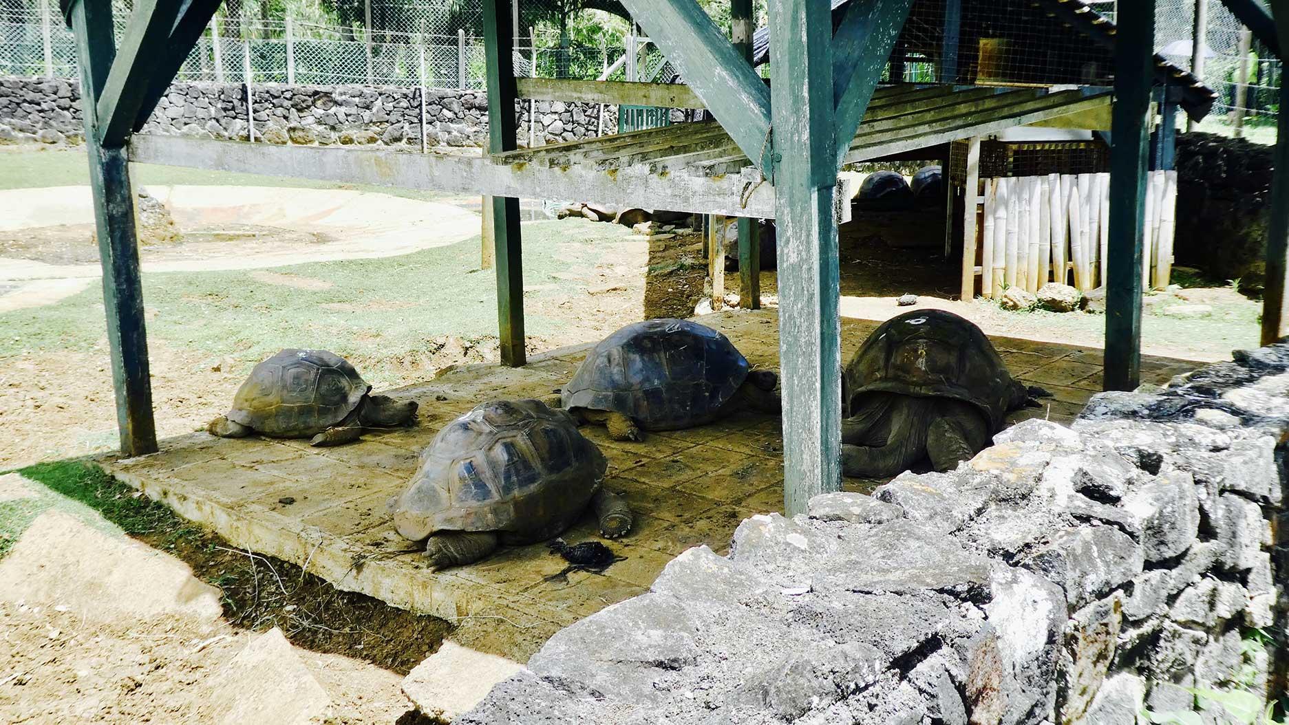 tortues au jardin de pamplemousses