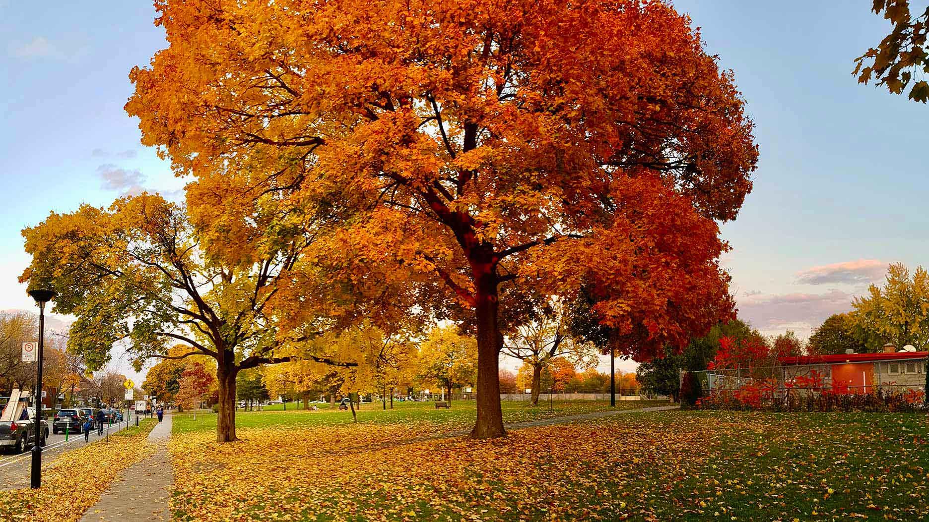arbre à l'automne au québec